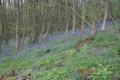 Bluebells, Ankerdine Hill, Worcestershire