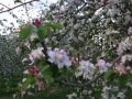 apple-blossom-knights-orchards-storridge