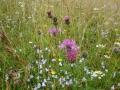 calcareous-grassland-flowers