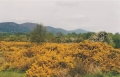 castlemorton-common-the-gorse-indicates-an-acid-soil-the-poorer-soils-are-derived-from-outwash-from-the-malvern-hills