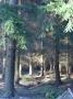 conifer-plantation-wyre-forest