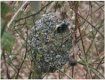 long-tailed-tit-nest-monkwood