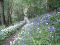 wild-garlic-and-bluebells-ankerdine-common