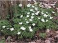 wood-anemones-monkwood