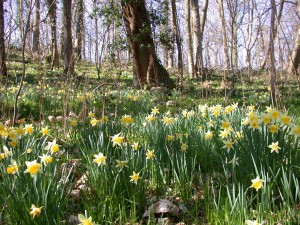 Wild Daffodils in Huntley Quarry Geology Reserve