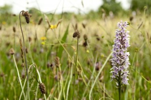 Common spotted orchids in the Spring Pieces Meadow at Severn Valley Country Park