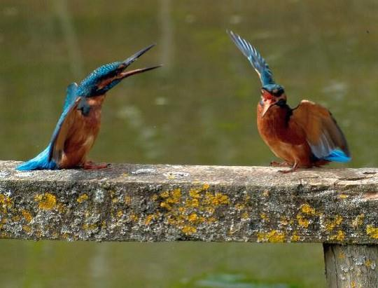 Kingfishers at Severn Valley Country Park, Shropshire