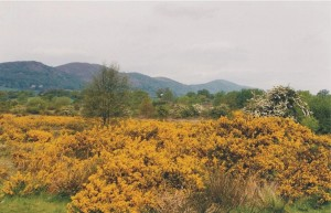 Gorse on Castlemorton Common